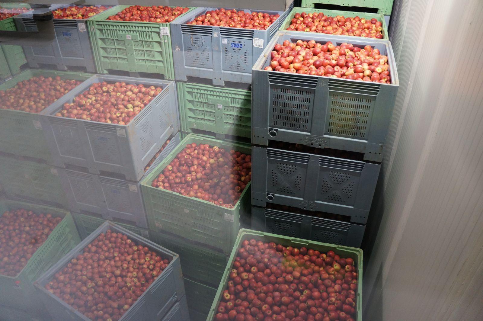 Conservation des pommes sous atmosphère contrôlée.